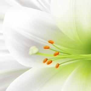 landscape image macro wallpaper white lily